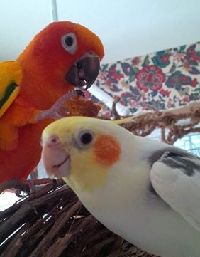 Sun conure and cockatiel
